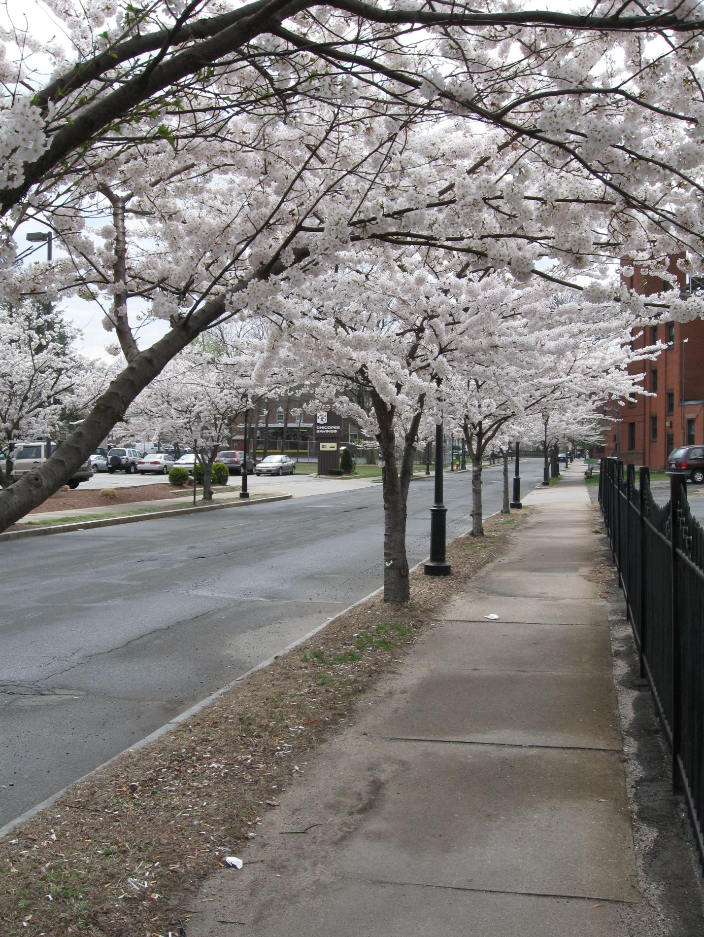 Pretty Downtown Cherry Trees